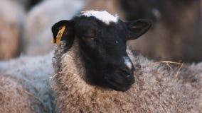 Las ovejas acentuadas rizadas permanecen en manada en la granja y miran a los left and right almacen de video