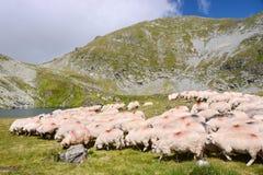 Las ovejas acercan al lago Capra en las montañas de Fagaras Imágenes de archivo libres de regalías