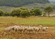 Las ovejas agrupan en naturaleza Imagen de archivo libre de regalías