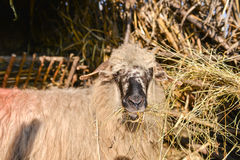 Las ovejas aisladas de la manada que come el heno dentro de ovejas cultivan Foto de archivo