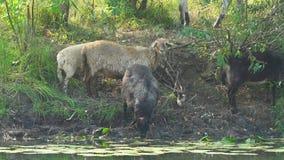 Las ovejas beben el agua del río almacen de video
