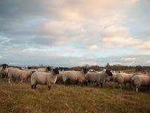 Las ovejas blancas ascendentes cercanas de las tierras de labrantío cultivan la hierba que pasta el animal derecho Fotografía de archivo