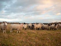 Las ovejas blancas ascendentes cercanas de las tierras de labrantío cultivan la hierba que pasta el animal derecho Fotos de archivo libres de regalías