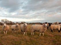 Las ovejas blancas ascendentes cercanas de las tierras de labrantío cultivan la hierba que pasta el animal derecho Imagen de archivo