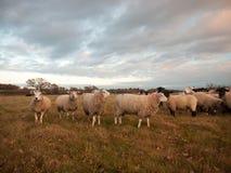 Las ovejas blancas ascendentes cercanas de las tierras de labrantío cultivan la hierba que pasta el animal derecho Foto de archivo libre de regalías