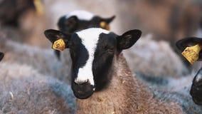 Las ovejas blancos y negros permanecen en manada en la granja y miran a los left and right almacen de video