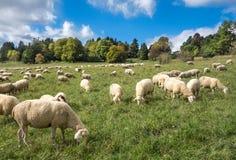 Las ovejas comen en un prado Imagen de archivo libre de regalías