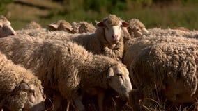Las ovejas comen la hierba en prado almacen de metraje de vídeo