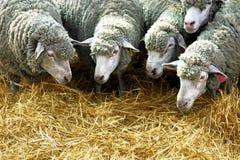 Las ovejas comen la paja Imágenes de archivo libres de regalías