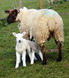 Las ovejas con el bebé paren, en Northumberland, Inglaterra, Reino Unido Fotografía de archivo libre de regalías