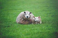 Las ovejas con el cordero que miente en el prado Fotos de archivo libres de regalías