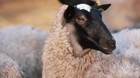 Las ovejas con las etiquetas en los oídos permanecen en manada en la granja y miran a los left and right almacen de metraje de vídeo