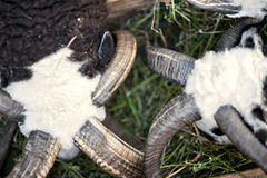 Las ovejas con la raza de Jacob de cuatro cuernos fotos de archivo libres de regalías