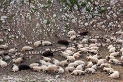 Las ovejas condujeron Fotos de archivo