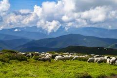 Las ovejas, corderos en la montaña cultivan contra los campos de hierba verde foto de archivo
