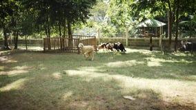Las ovejas corren alrededor en el prado en la granja almacen de metraje de vídeo