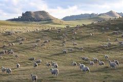 Las ovejas cultivan, Nueva Zelandia foto de archivo libre de regalías