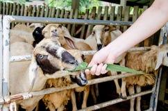 Las ovejas de alimentación con la hierba en las ovejas cultivan Imagenes de archivo