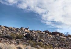 Las ovejas de carnero con grandes cuernos (canadensis del Ovis) encima de una colina rocosa Imagen de archivo