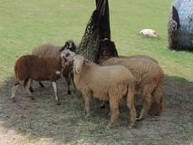 Las ovejas de los animales comen el heno debajo de la vertiente Imágenes de archivo libres de regalías