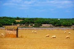 Las ovejas de Menorca se reúnen el pasto en prado secado de oro Fotos de archivo