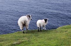 Las ovejas de montaña de la cara negra Foto de archivo