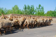 Las ovejas de Racka reúnen, parque nacional de Hortobagy, Hungría Foto de archivo libre de regalías