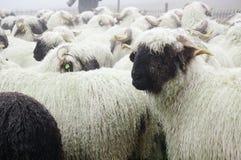 Las ovejas de Valais Blacknose reúnen en Zermatt, Suiza Fotos de archivo