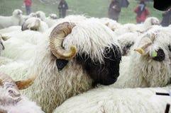 Las ovejas de Valais Blacknose reúnen en Zermatt, Suiza Fotografía de archivo