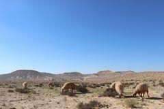 Las ovejas del nómada en parque nacional del avdat de Ein en Israel fotos de archivo libres de regalías