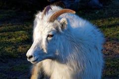 Las ovejas del thinhorn Imagen de archivo libre de regalías
