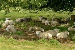 Las ovejas descansan en sombra en el parque de la abadía, Lacock Foto de archivo libre de regalías