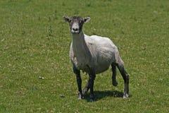 Las ovejas en Bodmin amarran Imagen de archivo