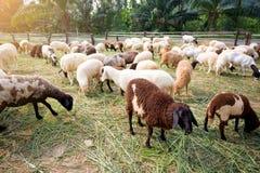 Las ovejas en hierba verde est?n comiendo la hierba en granja, una oveja lanosa en un campo verde fotos de archivo