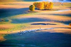 Las ovejas en la puesta del sol del prado Fotos de archivo libres de regalías