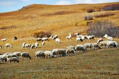Las ovejas en los prados del otoño Imagen de archivo
