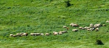 Las ovejas en una montaña pastan en los Balcanes Imagenes de archivo