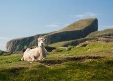 Las ovejas esquiladas en las ovejas oscilan la isla justa Reino Unido Fotos de archivo