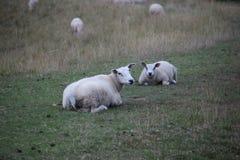 Las ovejas están colocando en un prado en la guarida aan IJssel de Nieuwerkerk en los Países Bajos Fotos de archivo libres de regalías