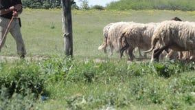 Las ovejas están pasando a través del prado almacen de metraje de vídeo