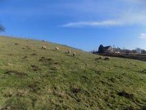 Las ovejas fijaron contra el cielo azul, Northumberland, Reino Unido Imagen de archivo libre de regalías