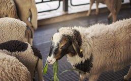 Las ovejas gozan el comer de la hierba en granja Imagen de archivo