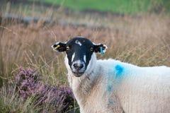 Las ovejas hacen frente encendido Foto de archivo