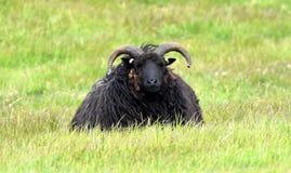 Las ovejas Hebridean en desprecian la cabeza, Yorkshire fotos de archivo