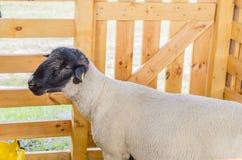 Las ovejas hermosas descansan y comen en la granja Fotografía de archivo