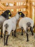 Las ovejas hermosas descansan y comen en la granja Fotografía de archivo libre de regalías