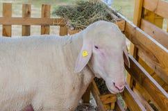 Las ovejas hermosas descansan y comen en la granja Fotos de archivo libres de regalías