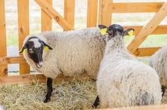 Las ovejas hermosas descansan y comen en la granja Imagen de archivo libre de regalías