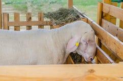 Las ovejas hermosas descansan y comen en la granja Foto de archivo