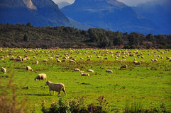Las ovejas, Nueva Zelandia Imagen de archivo libre de regalías